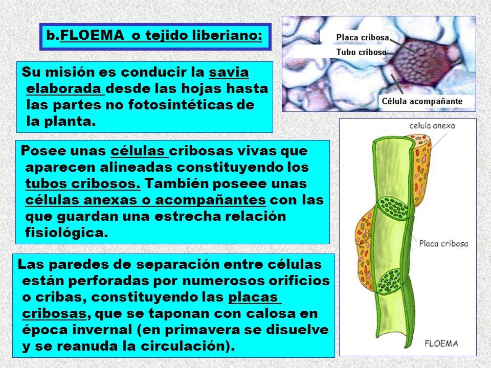 b.FLOEMA o tejido liberiano: Su misión es conducir la savia elaborada desde las hojas hasta las partes no fotosintéticas de la planta. Posee unas célu