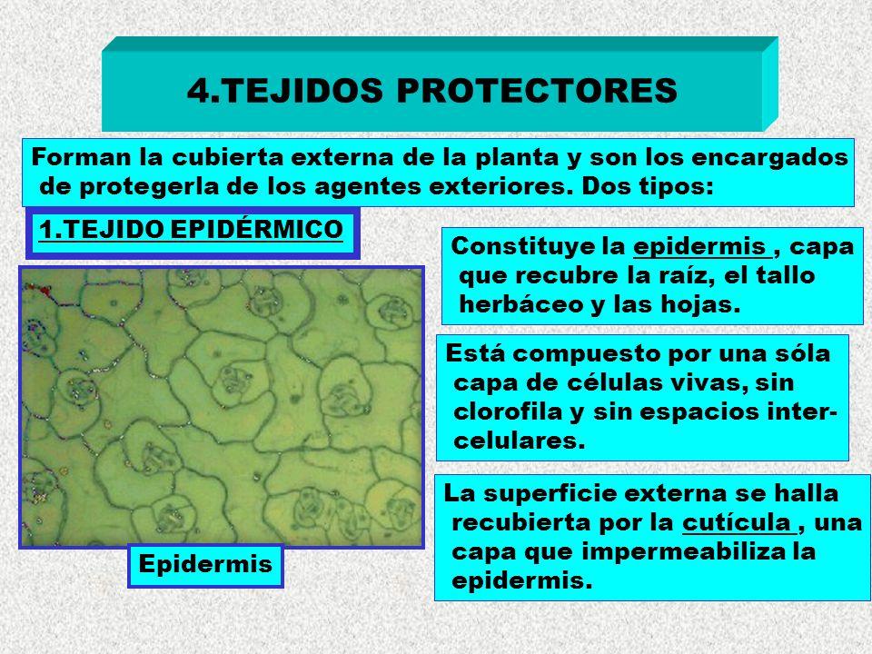 4.TEJIDOS PROTECTORES 1.TEJIDO EPIDÉRMICO Epidermis Forman la cubierta externa de la planta y son los encargados de protegerla de los agentes exterior