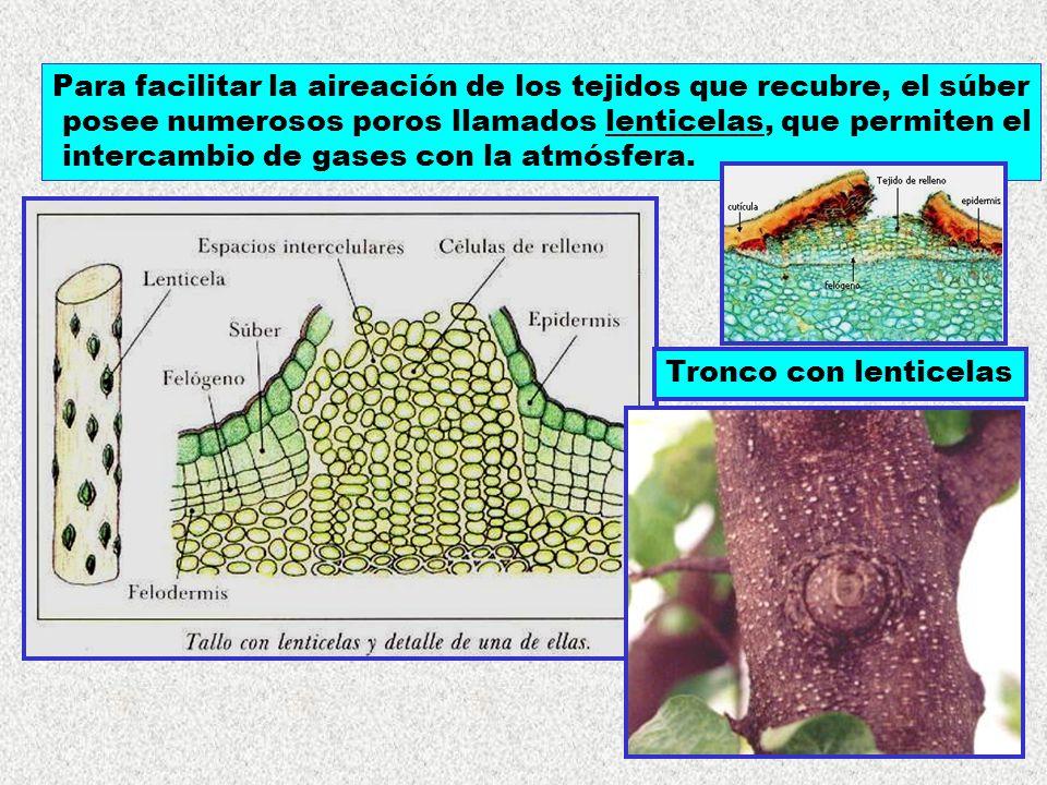 Para facilitar la aireación de los tejidos que recubre, el súber posee numerosos poros llamados lenticelas, que permiten el intercambio de gases con l