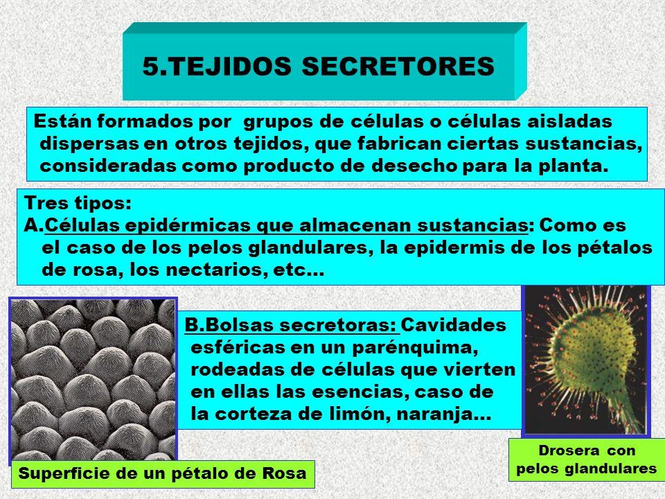 5.TEJIDOS SECRETORES Están formados por grupos de células o células aisladas dispersas en otros tejidos, que fabrican ciertas sustancias, consideradas