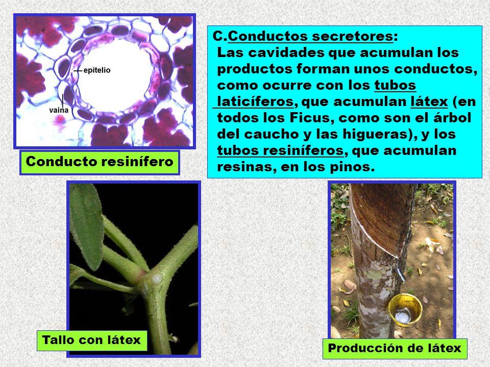 Conducto resinífero C.Conductos secretores: Las cavidades que acumulan los productos forman unos conductos, como ocurre con los tubos laticíferos, que