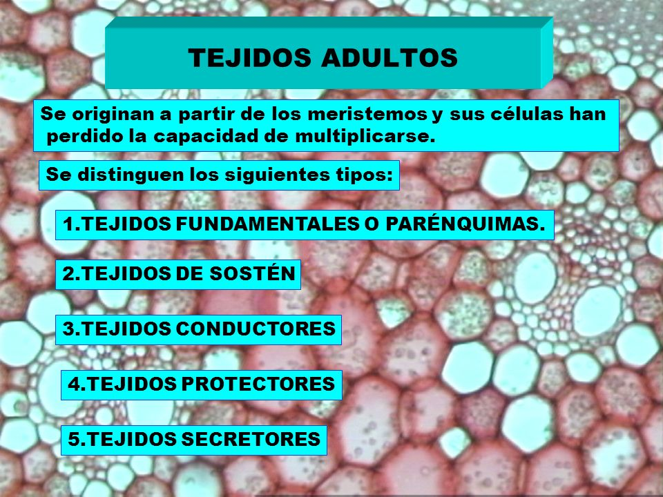 TEJIDOS ADULTOS Se originan a partir de los meristemos y sus células han perdido la capacidad de multiplicarse. Se distinguen los siguientes tipos: 1.