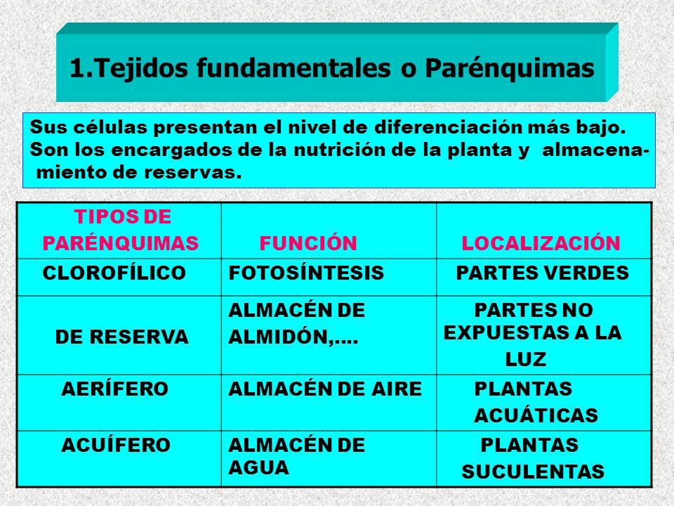 1.Tejidos fundamentales o Parénquimas Sus células presentan el nivel de diferenciación más bajo. Son los encargados de la nutrición de la planta y alm