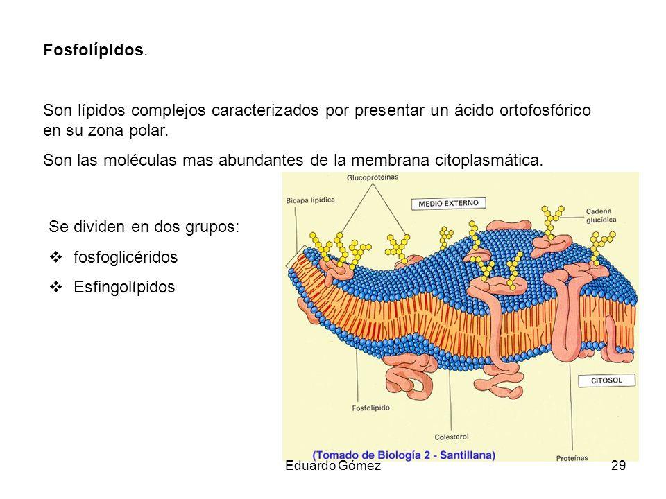 Fosfolípidos. Son lípidos complejos caracterizados por presentar un ácido ortofosfórico en su zona polar. Son las moléculas mas abundantes de la membr