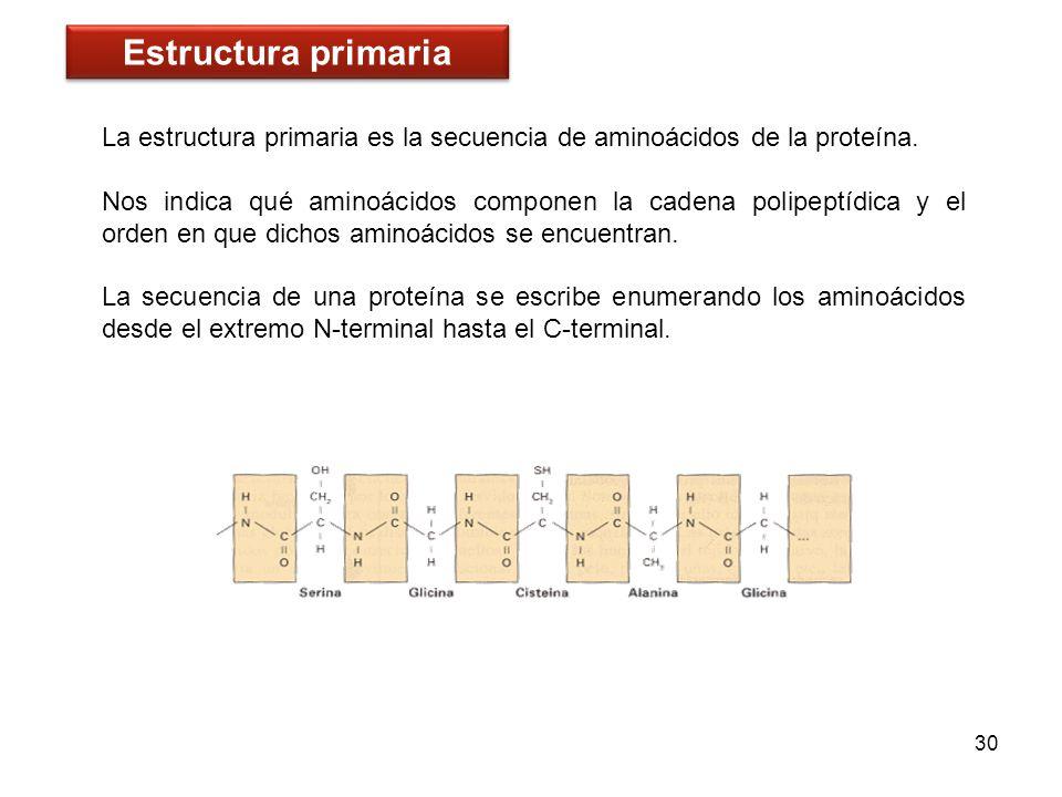 La estructura primaria es la secuencia de aminoácidos de la proteína. Nos indica qué aminoácidos componen la cadena polipeptídica y el orden en que di