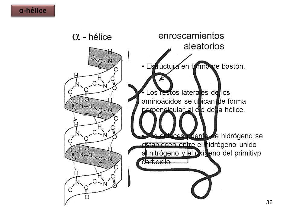 36 Estructura en forma de bastón. Los restos laterales de los aminoácidos se ubican de forma perpendicular al eje de la hélice. Los enlaces puente de
