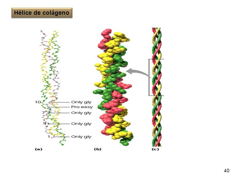 40 Hélice de colágeno