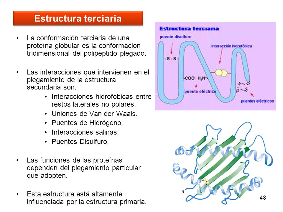 48 La conformación terciaria de una proteína globular es la conformación tridimensional del polipéptido plegado. Las interacciones que intervienen en