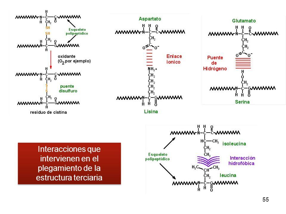 55 Interacciones que intervienen en el plegamiento de la estructura terciaria