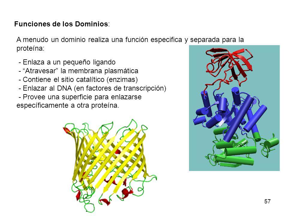 57 - Enlaza a un pequeño ligando - Atravesar la membrana plasmática - Contiene el sitio catalítico (enzimas) - Enlazar al DNA (en factores de transcri