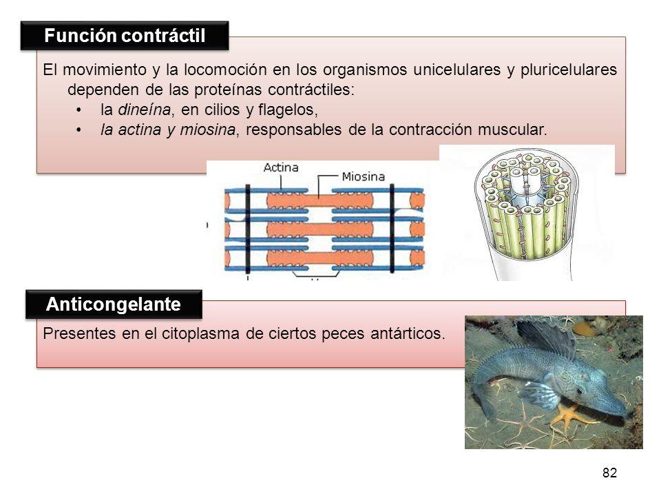 Presentes en el citoplasma de ciertos peces antárticos. El movimiento y la locomoción en los organismos unicelulares y pluricelulares dependen de las