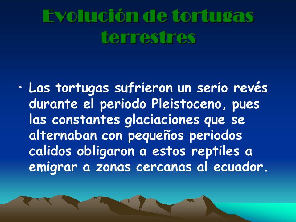 Evolución de tortugas terrestres Las tortugas sufrieron un serio revés durante el periodo Pleistoceno, pues las constantes glaciaciones que se alterna