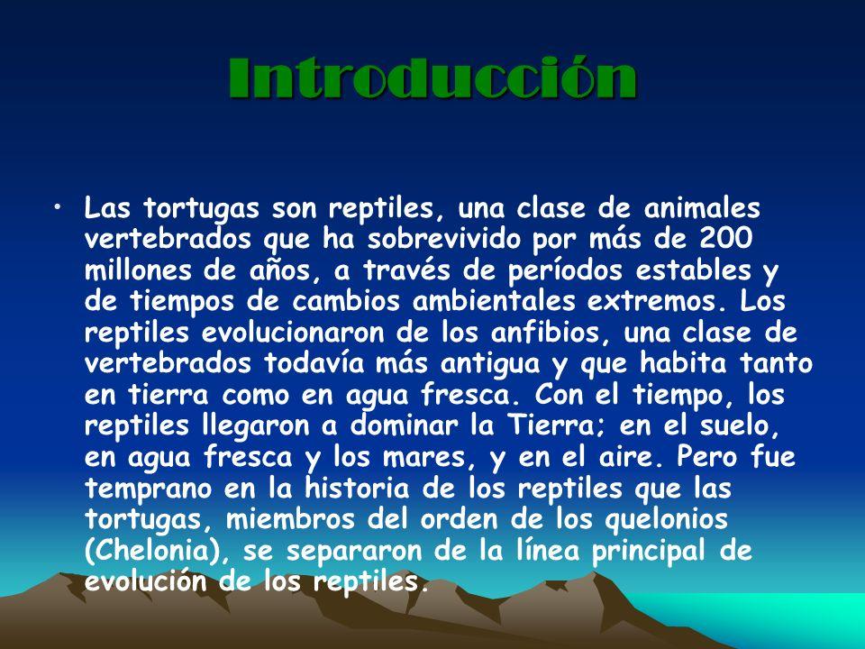 Introducción Las tortugas son reptiles, una clase de animales vertebrados que ha sobrevivido por más de 200 millones de años, a través de períodos est