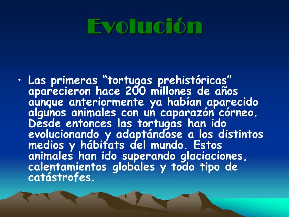 Evolución Las primeras tortugas prehistóricas aparecieron hace 200 millones de años aunque anteriormente ya habían aparecido algunos animales con un c