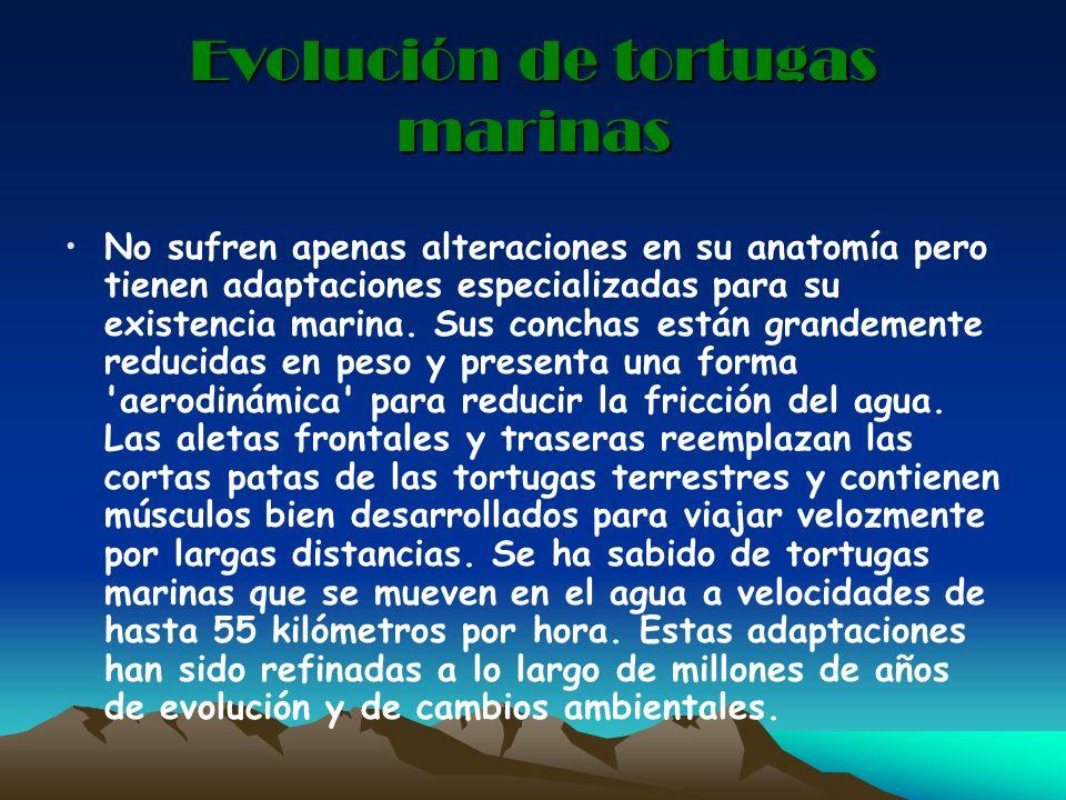 Evolución de tortugas marinas No sufren apenas alteraciones en su anatomía pero tienen adaptaciones especializadas para su existencia marina. Sus conc