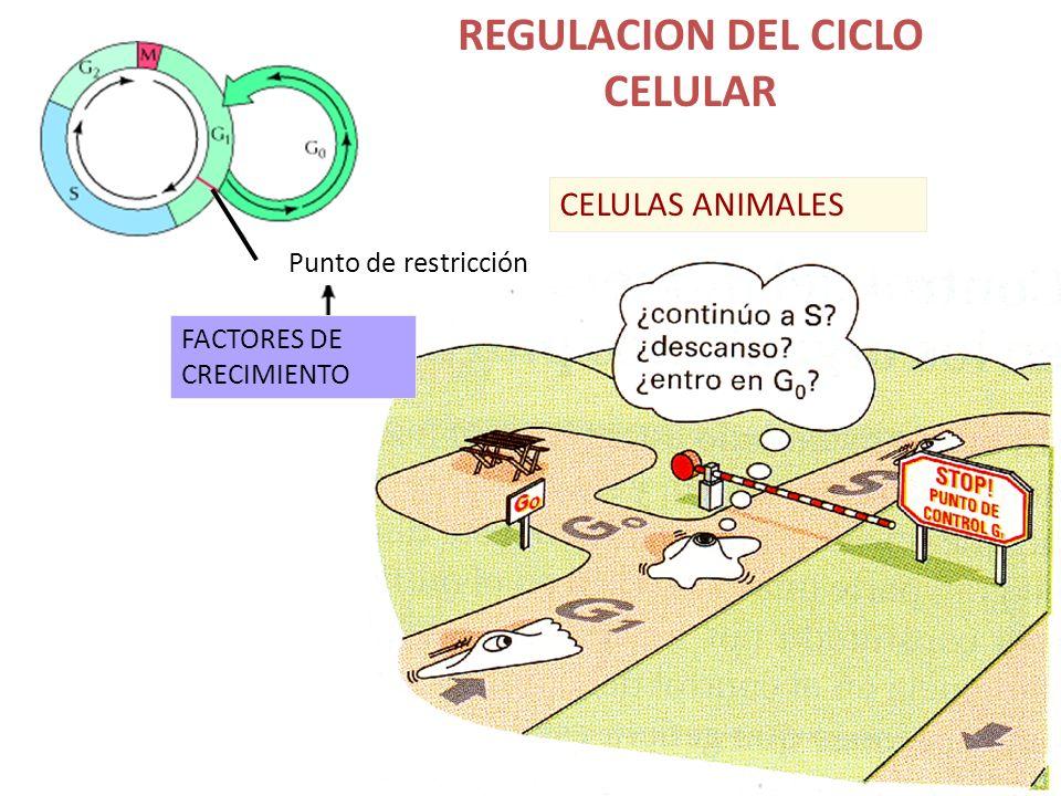 REGULACION DEL CICLO CELULAR Punto de restricción FACTORES DE CRECIMIENTO CELULAS ANIMALES