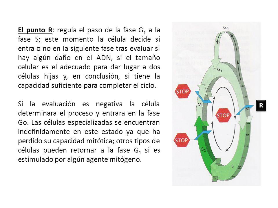 El punto R: regula el paso de la fase G 1 a la fase S; este momento la célula decide si entra o no en la siguiente fase tras evaluar si hay algún daño