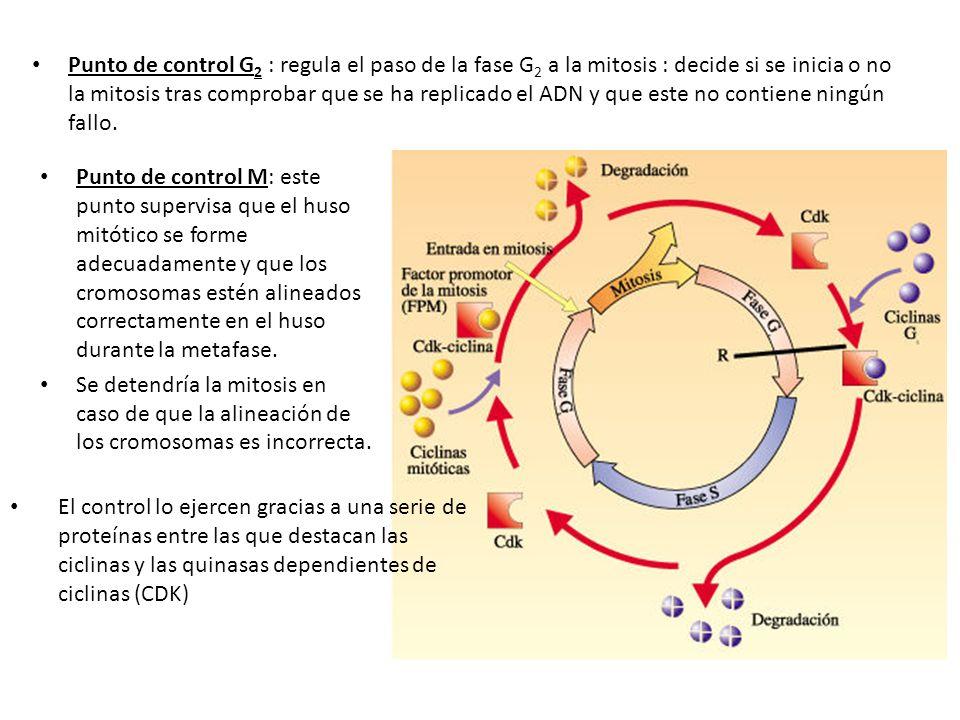 Punto de control G 2 : regula el paso de la fase G 2 a la mitosis : decide si se inicia o no la mitosis tras comprobar que se ha replicado el ADN y qu