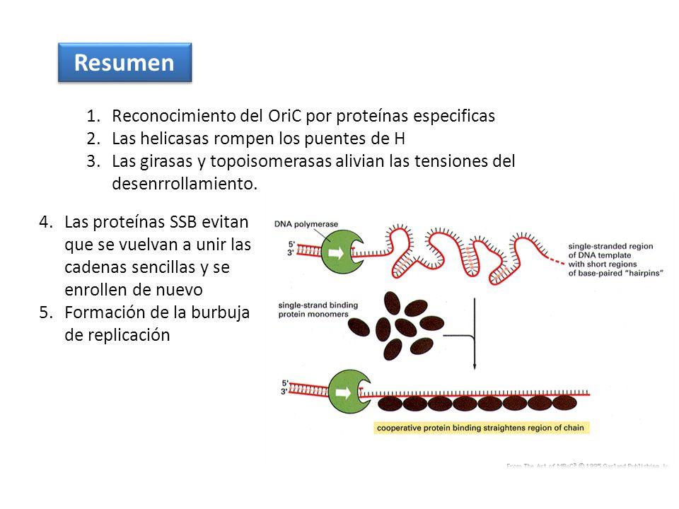 Resumen 1.Reconocimiento del OriC por proteínas especificas 2.Las helicasas rompen los puentes de H 3.Las girasas y topoisomerasas alivian las tension