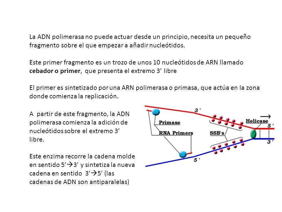 La ADN polimerasa no puede actuar desde un principio, necesita un pequeño fragmento sobre el que empezar a añadir nucleótidos. Este primer fragmento e