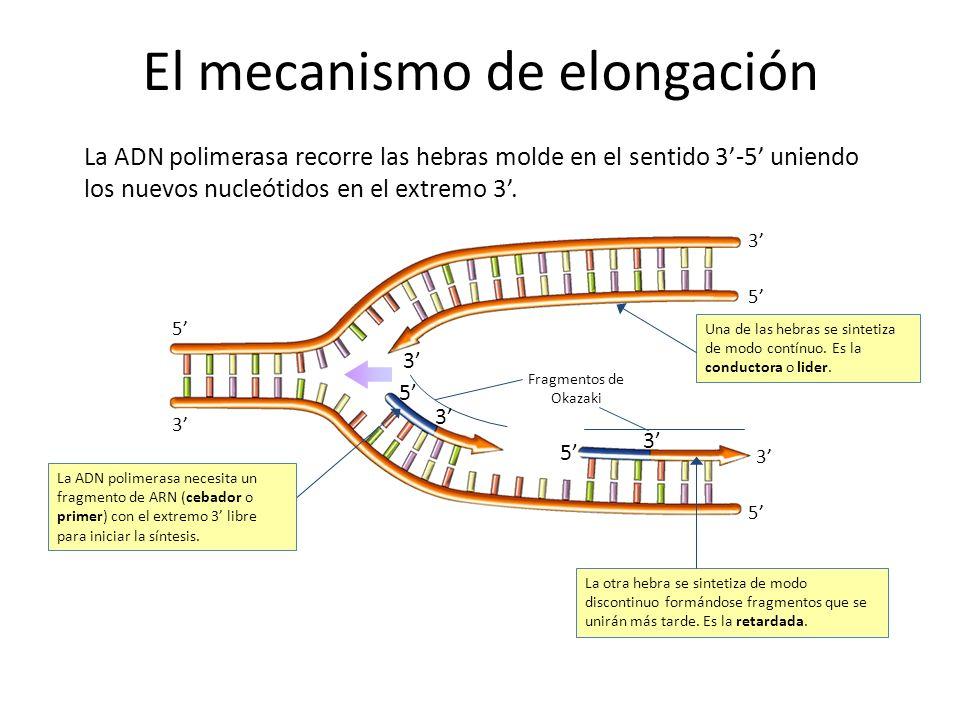 3 5 5 3 3 5 El mecanismo de elongación 5 3 3 5 3 La ADN polimerasa necesita un fragmento de ARN (cebador o primer) con el extremo 3 libre para iniciar