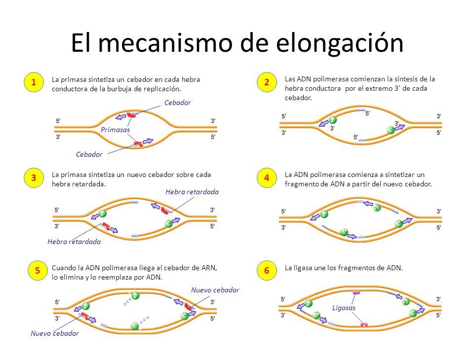 El mecanismo de elongación 123456 La primasa sintetiza un cebador en cada hebra conductora de la burbuja de replicación. Las ADN polimerasa comienzan