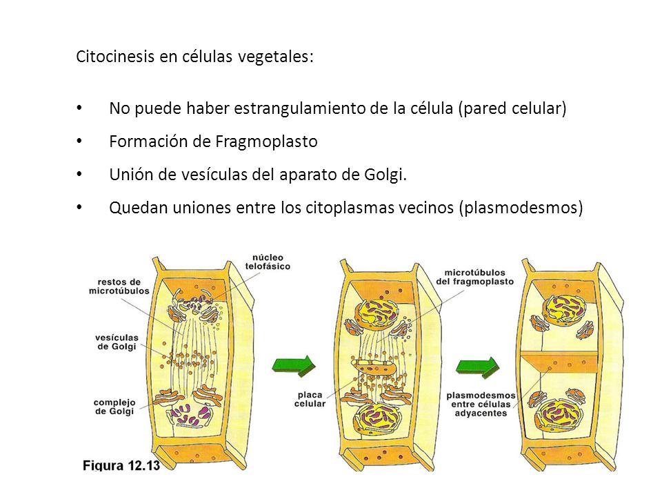 Citocinesis en células vegetales: No puede haber estrangulamiento de la célula (pared celular) Formación de Fragmoplasto Unión de vesículas del aparat