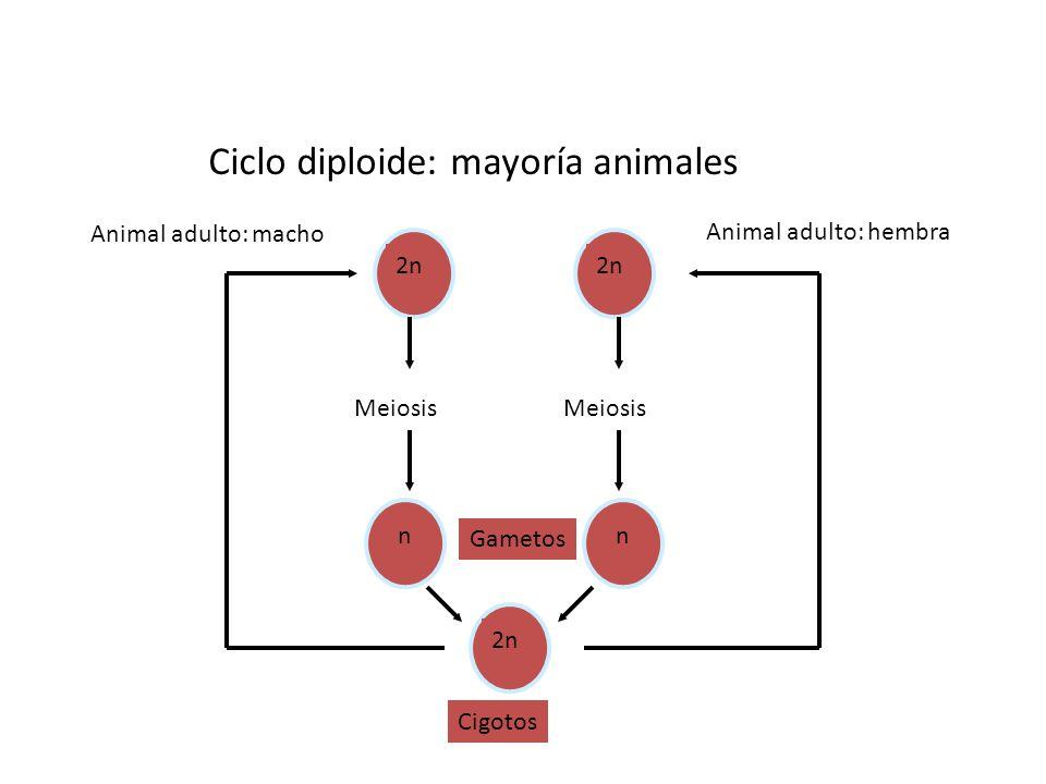 2n Ciclo diploide: mayoría animales 2n Cigotos Animal adulto: hembra Meiosis nn Gametos Animal adulto: macho