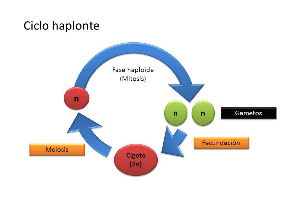 n n n n Cigoto (2n) Fecundación Meiosis Gametos Ciclo haplonte n n Fase haploide (Mitosis)