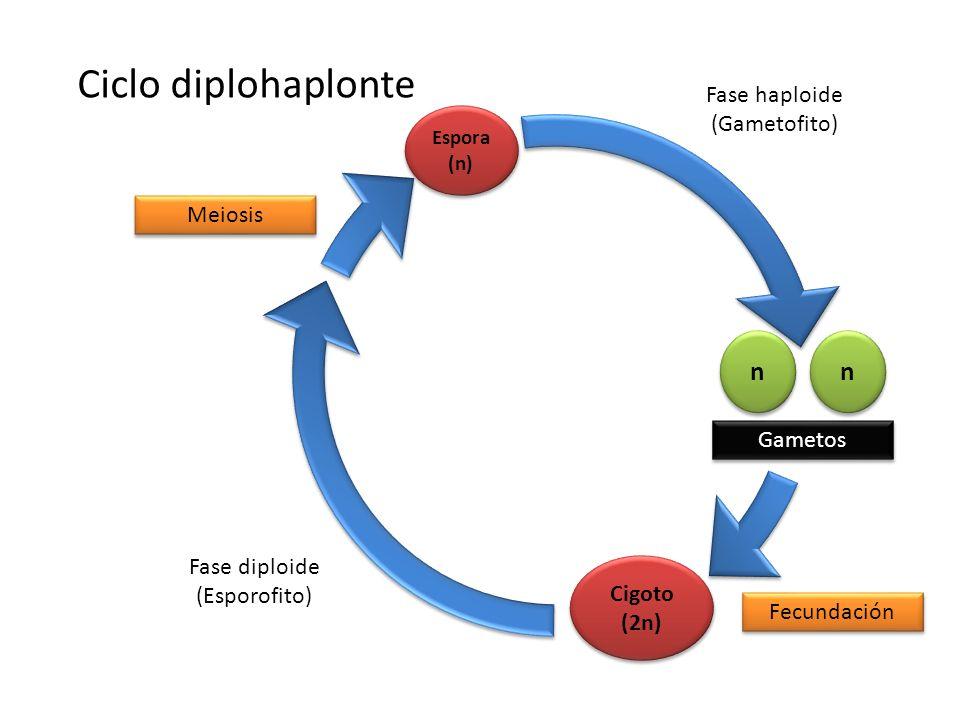 n n n n Gametos Cigoto (2n) Fecundación Fase diploide (Esporofito) Espora (n) Meiosis Fase haploide (Gametofito) Ciclo diplohaplonte