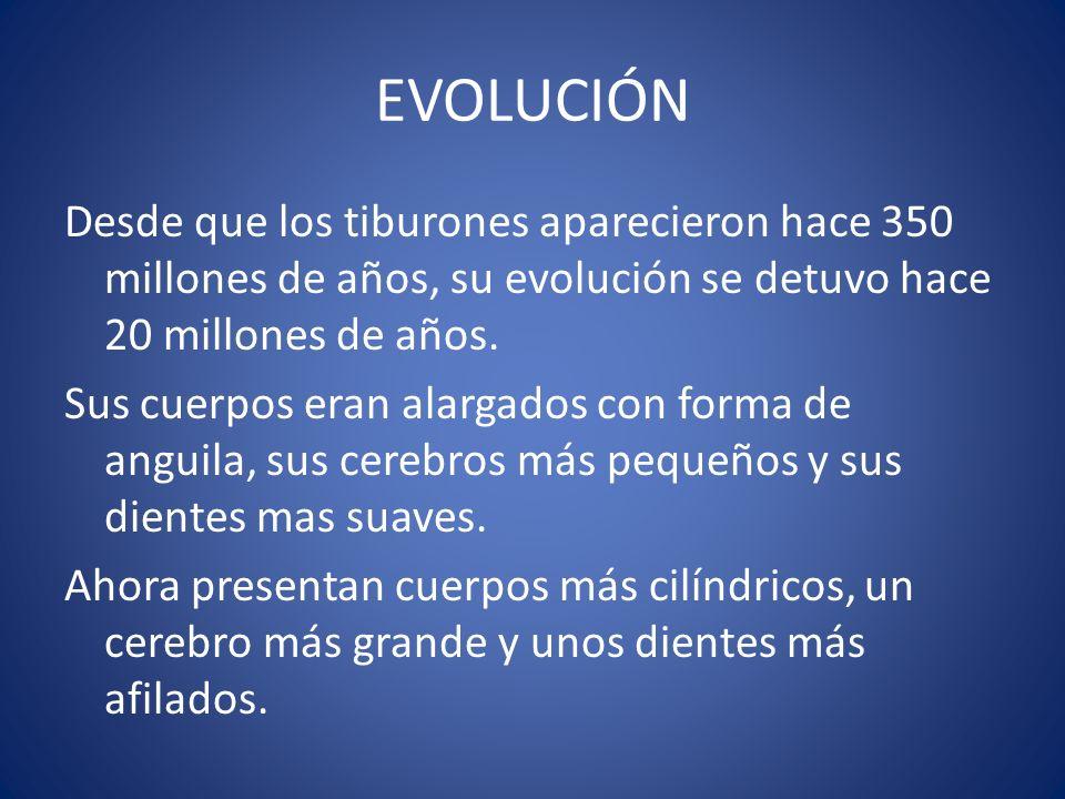 EVOLUCIÓN Desde que los tiburones aparecieron hace 350 millones de años, su evolución se detuvo hace 20 millones de años. Sus cuerpos eran alargados c
