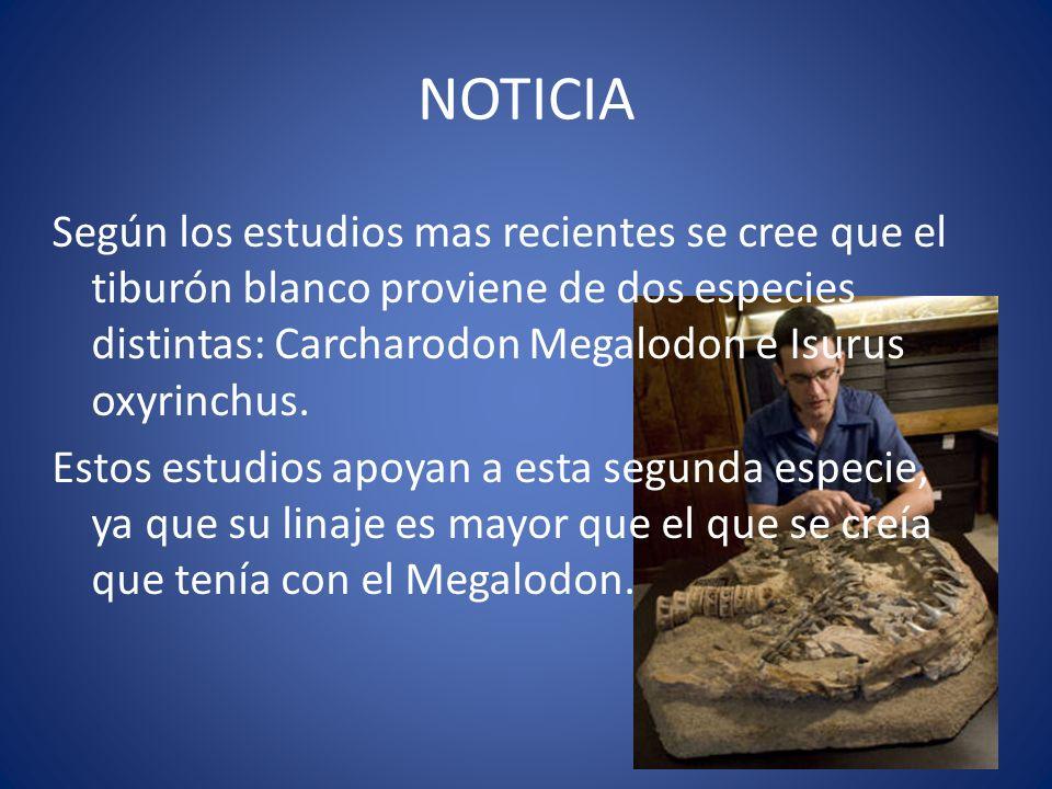 NOTICIA Según los estudios mas recientes se cree que el tiburón blanco proviene de dos especies distintas: Carcharodon Megalodon e Isurus oxyrinchus.