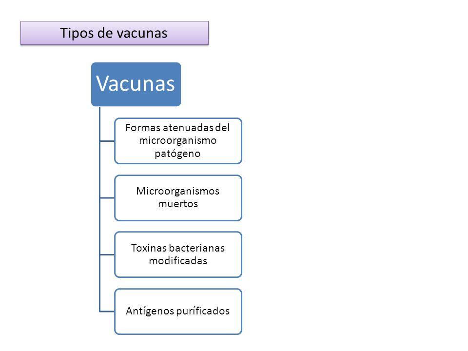 Tipos de vacunas Vacunas Formas atenuadas del microorganismo patógeno Microorganismos muertos Toxinas bacterianas modificadas Antígenos puríficados