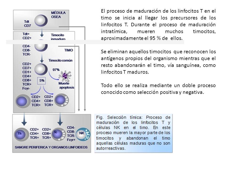 El proceso de maduración de los linfocitos T en el timo se inicia al llegar los precursores de los linfocitos T. Durante el proceso de maduración intr