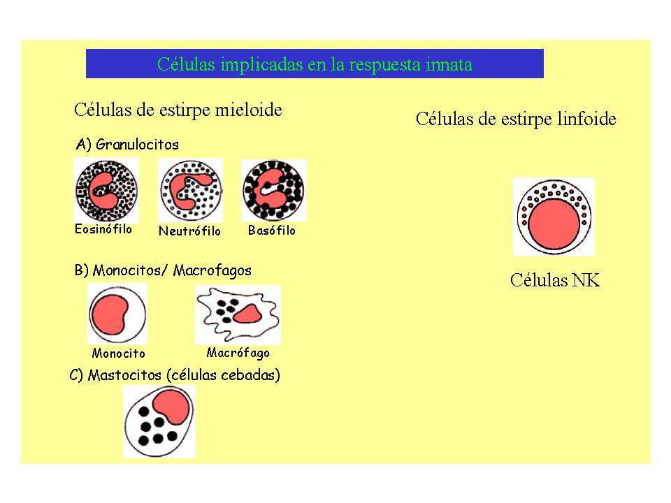Hipersensibilidad citotóxica (Tipo II) El anticuerpo se une a un antígeno situado en las células propias Activa las células NK o la lisis mediante el sistema del complemento, que eliminan en este caso a células propias Algunos ejemplos: Anemia autoinmune hemolítica Síndrome de Goodpasture Eritroblastosis fetal Pénfigo Anemia perniciosa autoinmune Trombocitopenia inmune Reacciones de transfusión Tiroiditis de Hashimoto Enfermedad de Graves Miastenia gravis Fiebre reumática