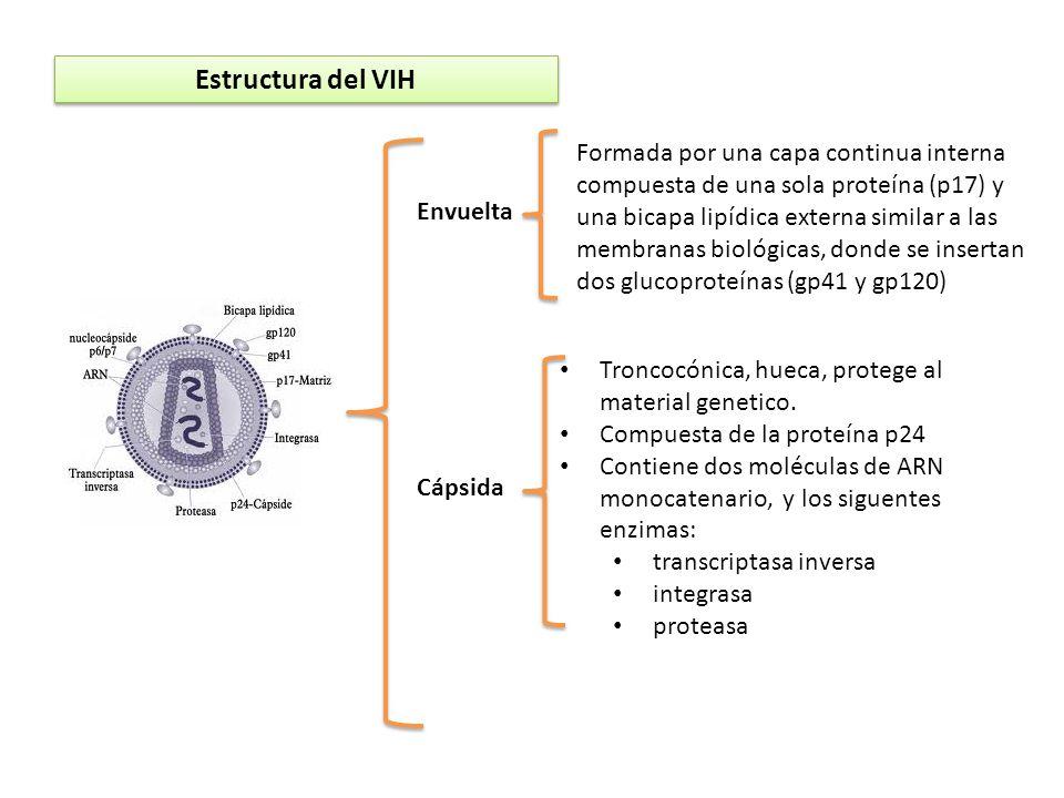 Estructura del VIH Envuelta Formada por una capa continua interna compuesta de una sola proteína (p17) y una bicapa lipídica externa similar a las mem
