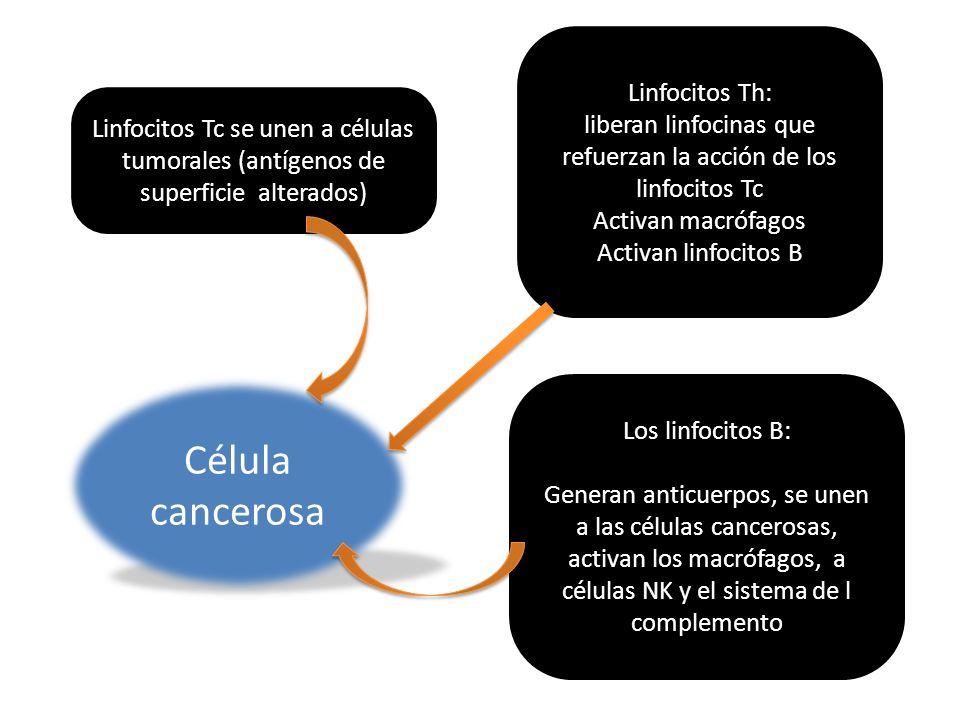 Linfocitos Tc se unen a células tumorales (antígenos de superficie alterados) Linfocitos Th: liberan linfocinas que refuerzan la acción de los linfoci