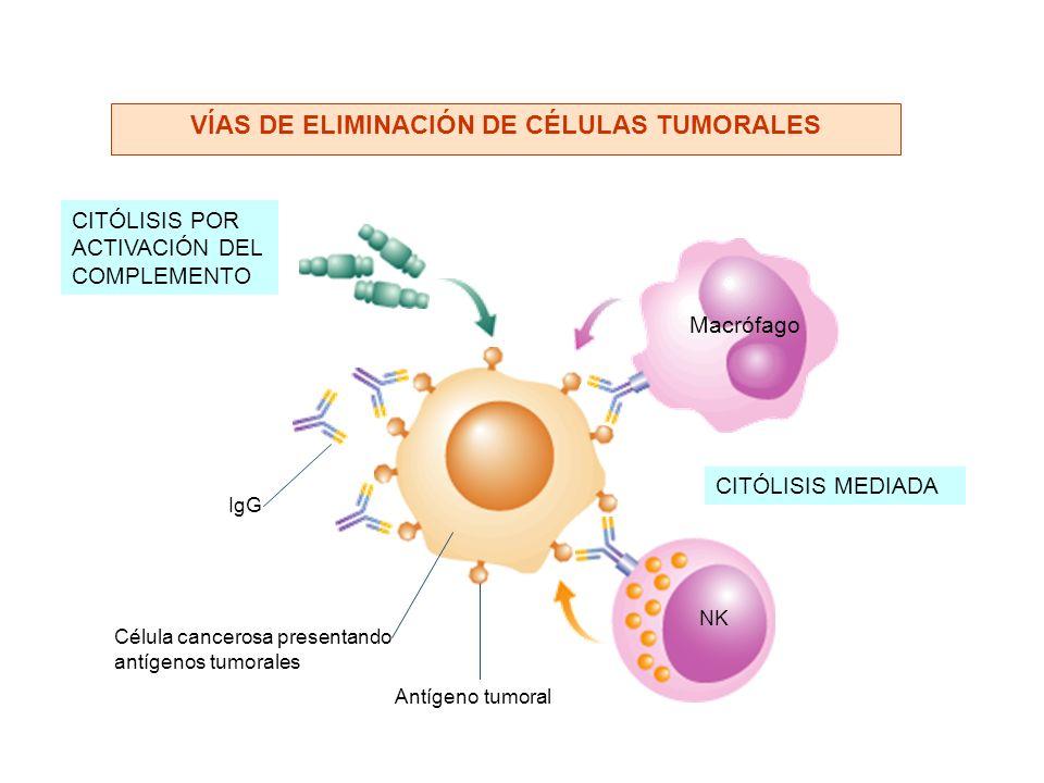 CITÓLISIS POR ACTIVACIÓN DEL COMPLEMENTO Antígeno tumoral IgG Célula cancerosa presentando antígenos tumorales Macrófago NK CITÓLISIS MEDIADA VÍAS DE