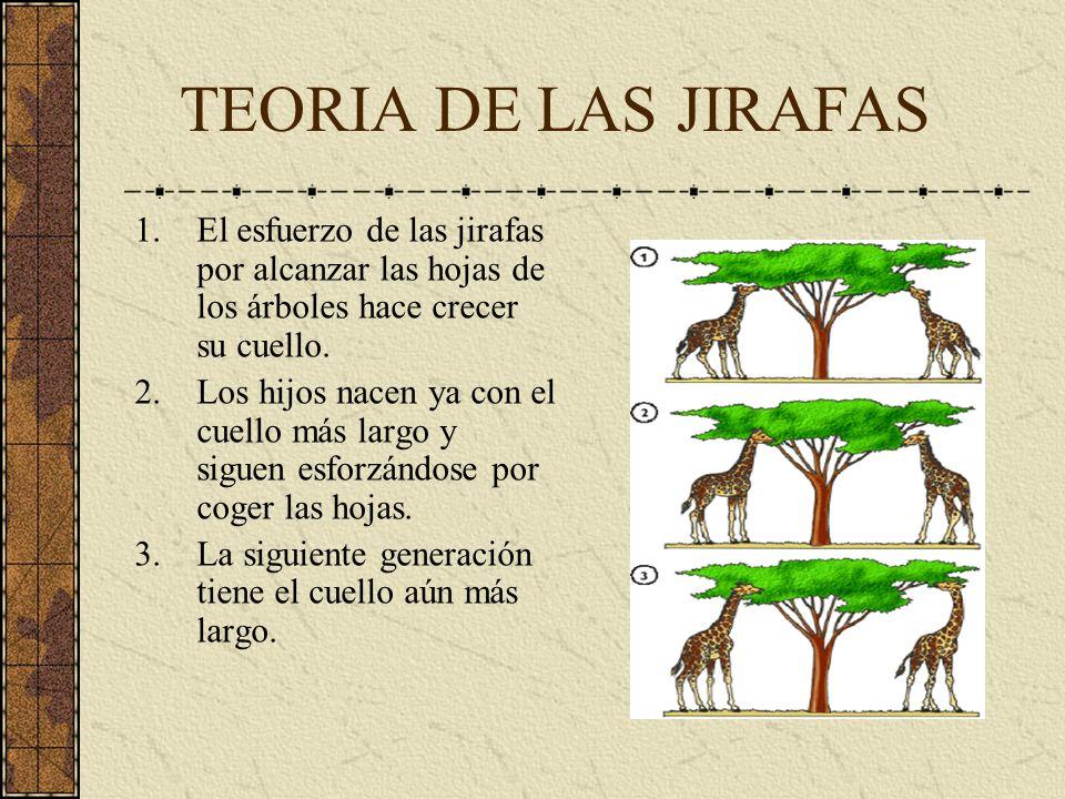 TEORIA DE LAS JIRAFAS 1.El esfuerzo de las jirafas por alcanzar las hojas de los árboles hace crecer su cuello. 2.Los hijos nacen ya con el cuello más