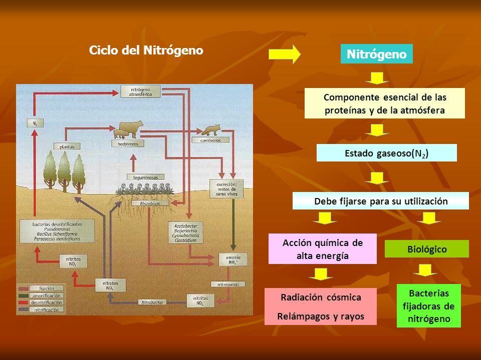 Ciclo del Nitrógeno Nitrógeno Componente esencial de las proteínas y de la atmósfera Estado gaseoso(N 2 ) Debe fijarse para su utilización Acción quím