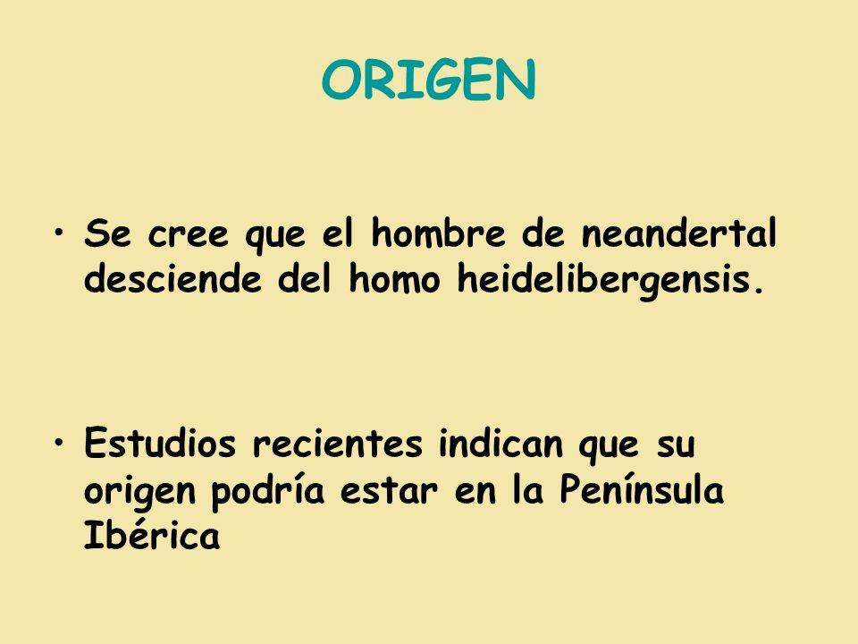 ORIGEN Se cree que el hombre de neandertal desciende del homo heidelibergensis. Estudios recientes indican que su origen podría estar en la Península