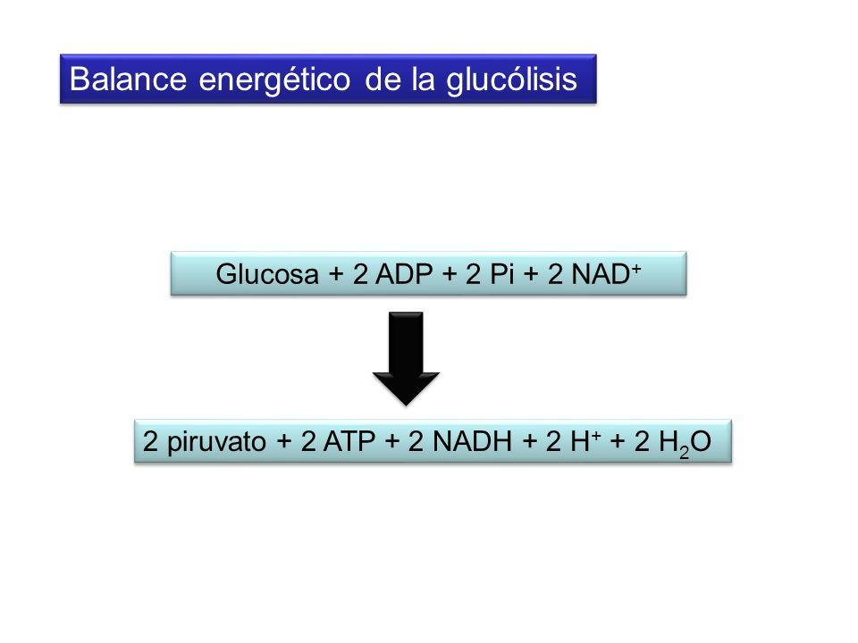 Glucosa + 2 ADP + 2 Pi + 2 NAD + 2 piruvato + 2 ATP + 2 NADH + 2 H + + 2 H 2 O Balance energético de la glucólisis