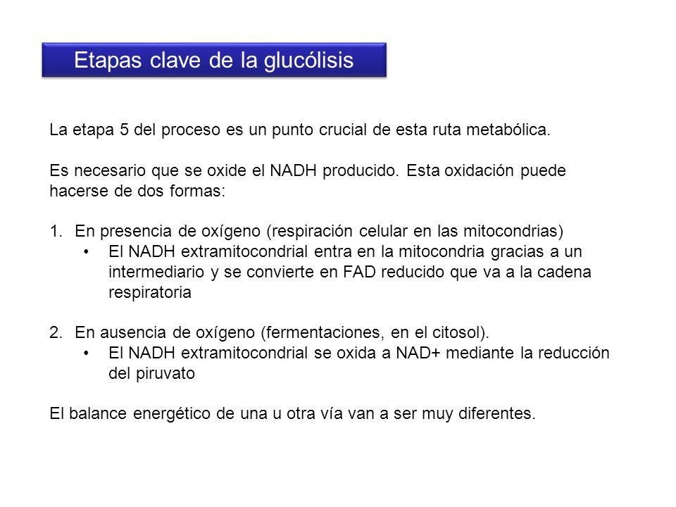 La etapa 5 del proceso es un punto crucial de esta ruta metabólica. Es necesario que se oxide el NADH producido. Esta oxidación puede hacerse de dos f