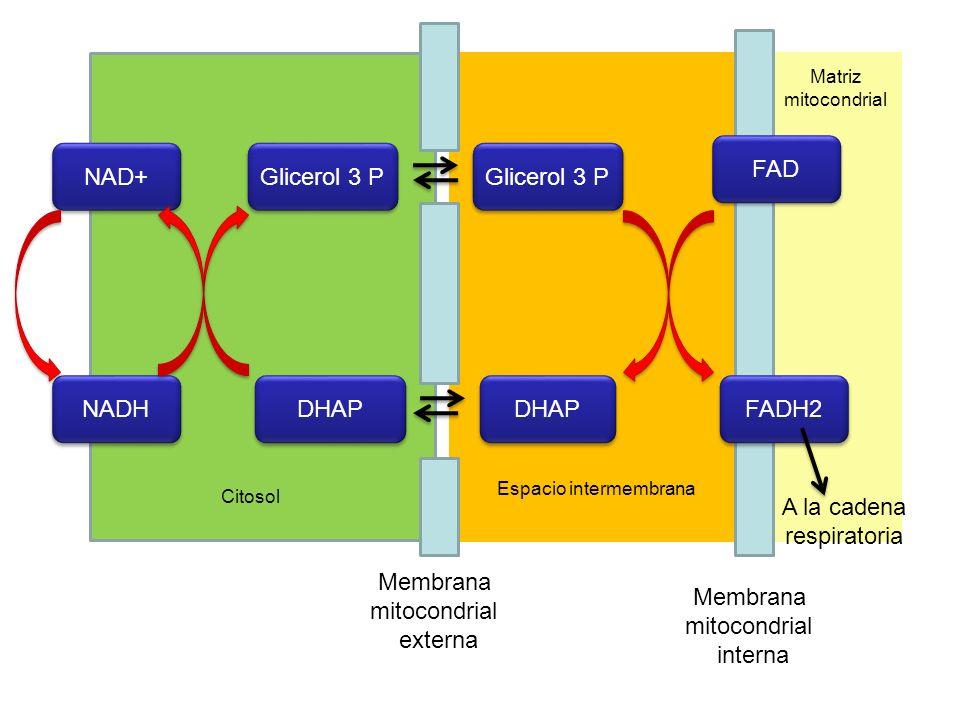 NAD+ NADH Glicerol 3 P DHAP Glicerol 3 P DHAP FAD FADH2 Membrana mitocondrial externa Membrana mitocondrial interna Espacio intermembrana A la cadena