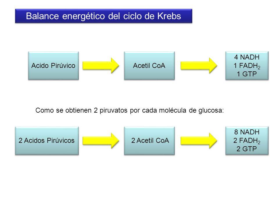 Balance energético del ciclo de Krebs 4 NADH 1 FADH 2 1 GTP 4 NADH 1 FADH 2 1 GTP Acetil CoA Como se obtienen 2 piruvatos por cada molécula de glucosa