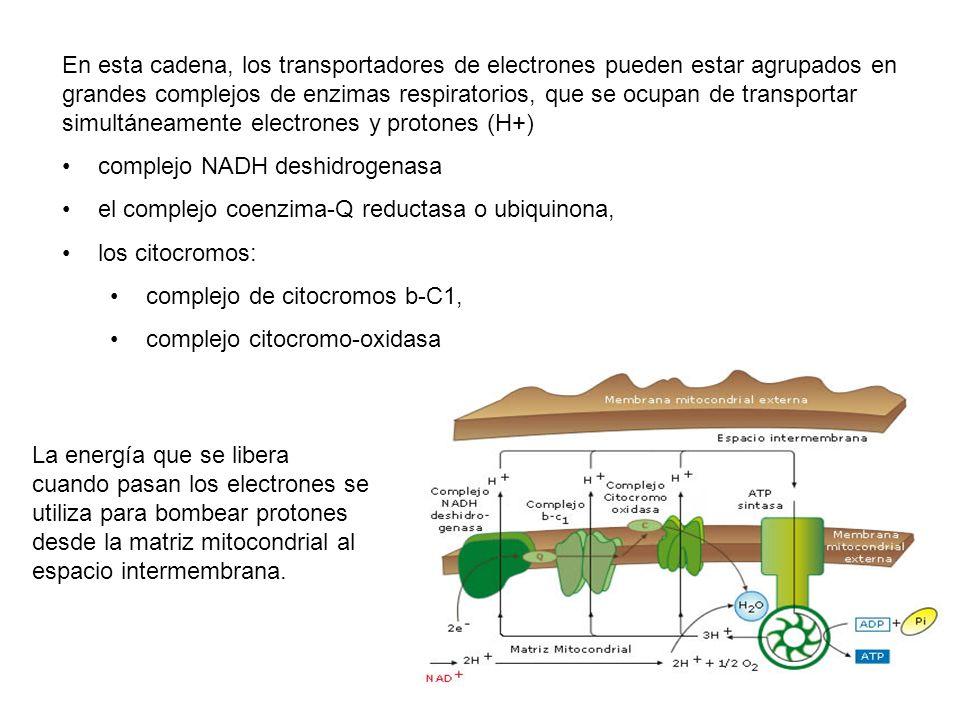 En esta cadena, los transportadores de electrones pueden estar agrupados en grandes complejos de enzimas respiratorios, que se ocupan de transportar s