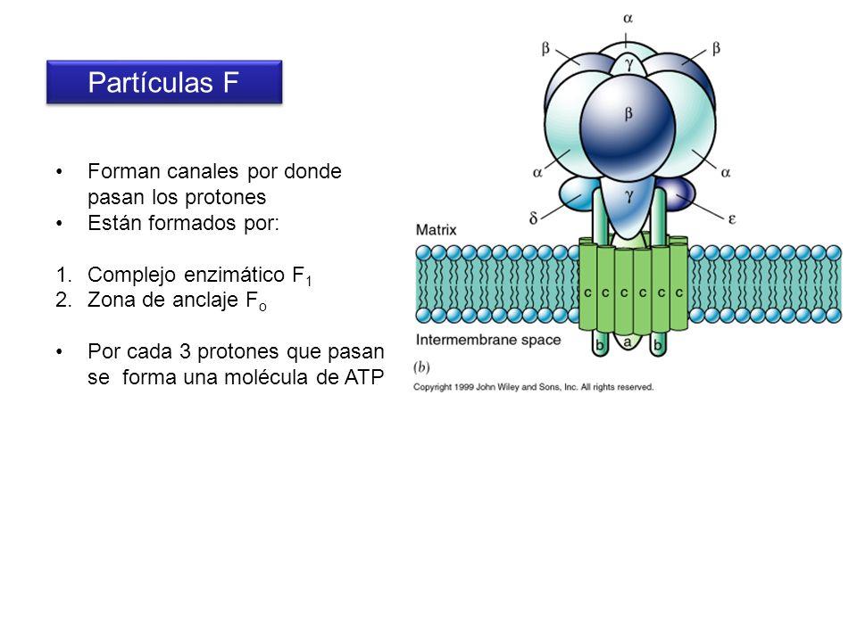 Partículas F Forman canales por donde pasan los protones Están formados por: 1.Complejo enzimático F 1 2.Zona de anclaje F o Por cada 3 protones que p