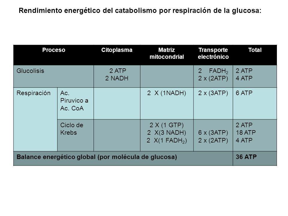 Rendimiento energético del catabolismo por respiración de la glucosa: ProcesoCitoplasmaMatriz mitocondrial Transporte electrónico Total Glucolisis 2 A