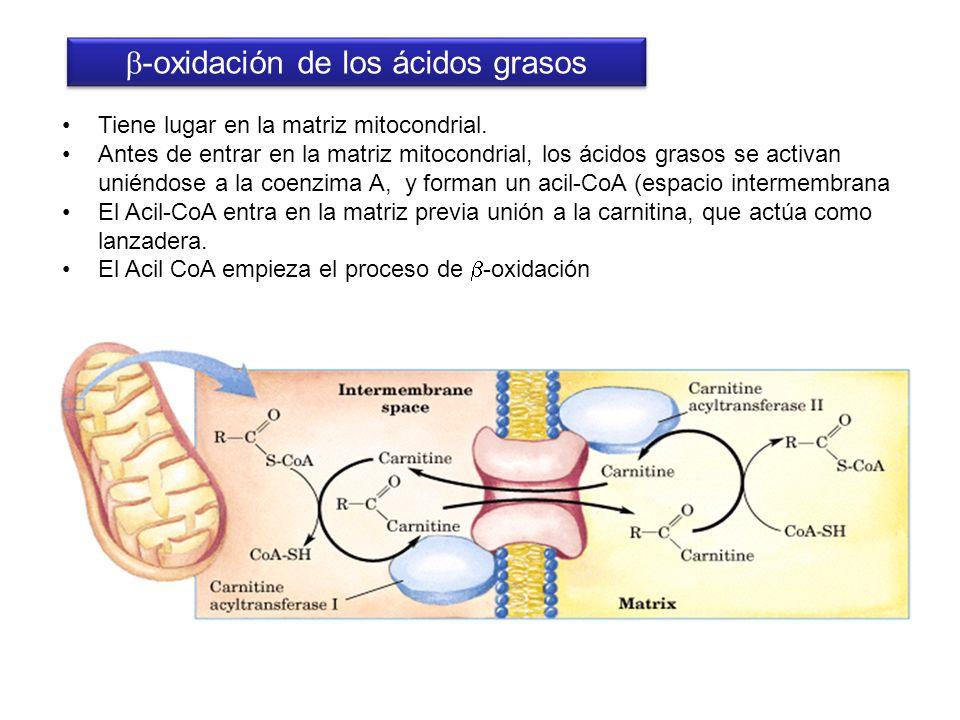 Tiene lugar en la matriz mitocondrial. Antes de entrar en la matriz mitocondrial, los ácidos grasos se activan uniéndose a la coenzima A, y forman un