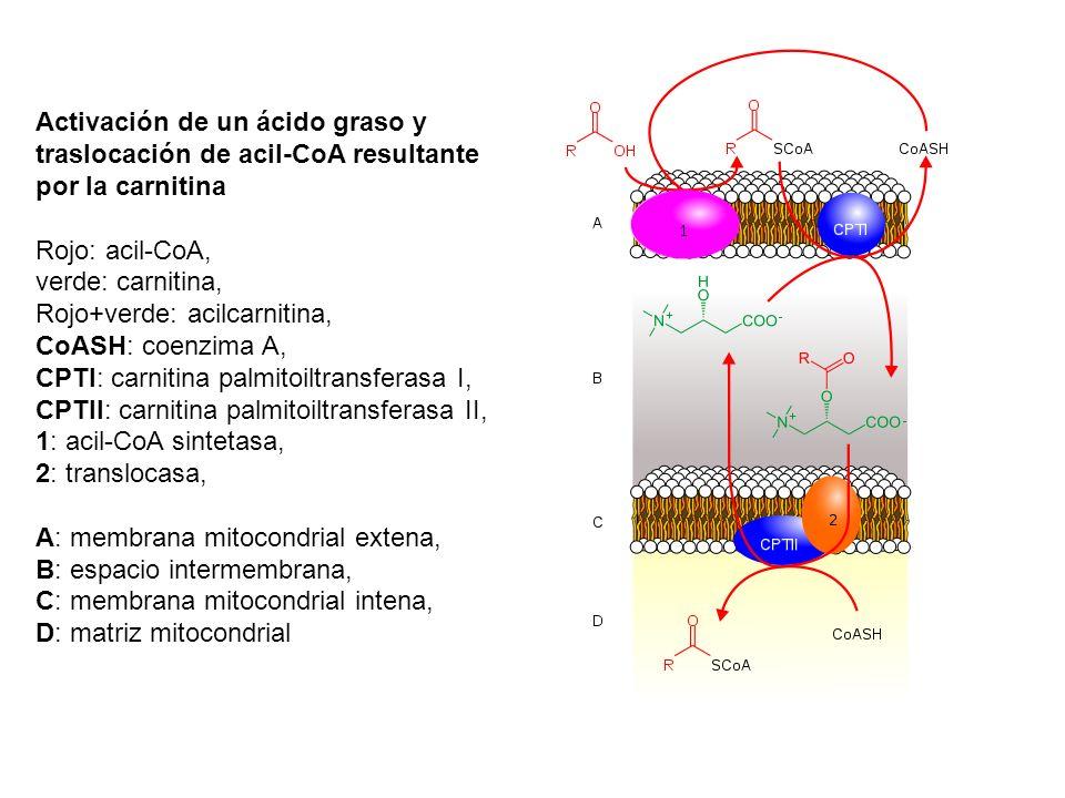 Activación de un ácido graso y traslocación de acil-CoA resultante por la carnitina Rojo: acil-CoA, verde: carnitina, Rojo+verde: acilcarnitina, CoASH